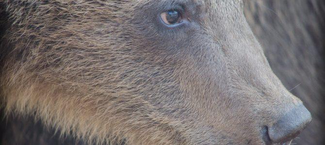 Sanctuarul de ursi de la Zărnești. O experiență emoționantă